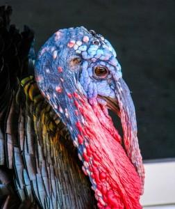 turkey-200955_640